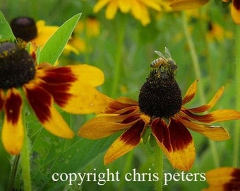 Photo Note Card, flower, Bee on Black Eyed Susan, free shipping, photography by Chris Peters, Mementos of the Journey.