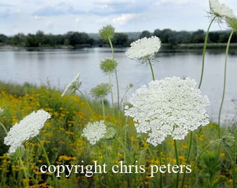 photo note card, flower, Queen Anne's Lace, photography by Chris Peters, Mementos of the Journey