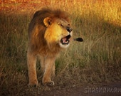 Roaring Lion  5x7 photography print
