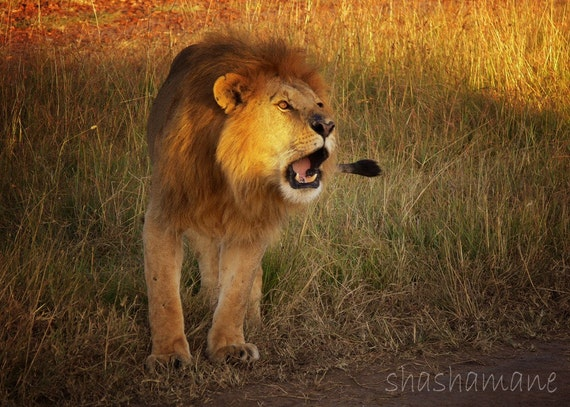 Roaring Lion  5x7 photography print