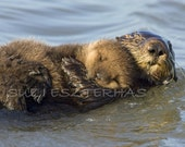 Mom and Baby Sea Otter Ph...