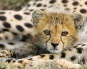 Baby Cheetah Photo, Baby Animal Photography, African Wildlife, Nursery Print, Baby Nursery Decor, Safari Nursery Art Print, Cheetah Cub, Cat
