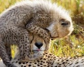 CHEETAH BABY PLAYING with Mom Card - Blank, Baby Animal Photograph, Wildlife, New Baby Card, Baby Shower Card,  Photo Card, Birthday - WildBabies