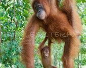 Nursery Wall Art, BABY ORANGUTAN PLAYING with Mom Photo, Mother and Baby Animal Photograph, Jungle Nursery Art, Baby Monkey, Baby Shower