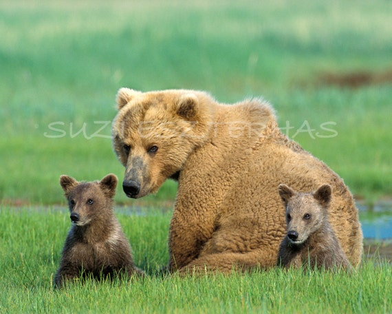 60% OFF SALE -Mom & Baby Bears Photo - 8 X 12 Print - Baby Animal Photograph, Wildlife Photography, Wall Nursery Art, Mother, Love,  Family