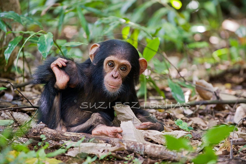 Cute Baby Chimpanzee Photo Print Baby Animal by ...