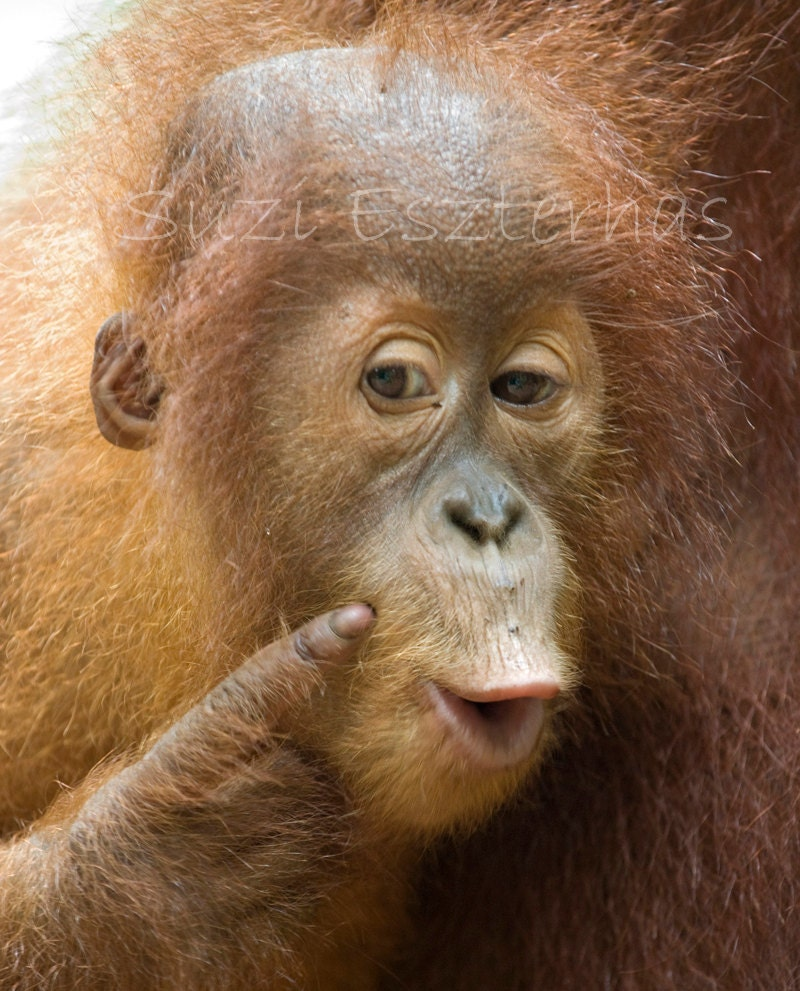 Funny Orangutan Baby Photo 8 X 10 Print Baby Animal