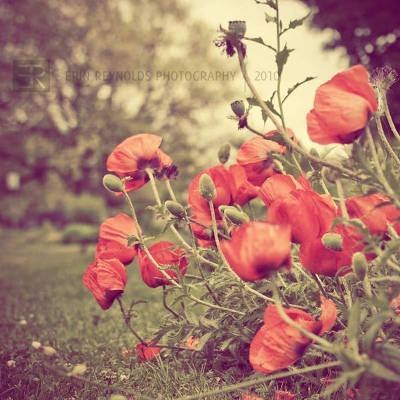 Poppy Red - Fine Art Photography Original Print, Poppies Nature Photography Print, Red Yellow Wall Art, Flower Art, Nature Home Decor, Poppy