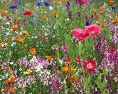 Low Growing Wildflower Mix 10,000 Seeds 9 Grams