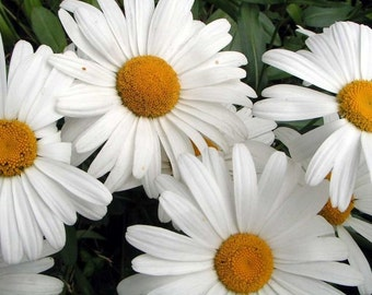 Shasta Daisy  700 Seeds/1 Gram Chrysanthemum maximum (Alaska)