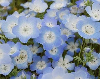 Baby Blue Eyes 500 Seeds Nemophila menziesii