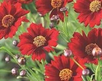 Coreopsis Dwarf Red C. tinctoria 3,000 Seeds 1 gram