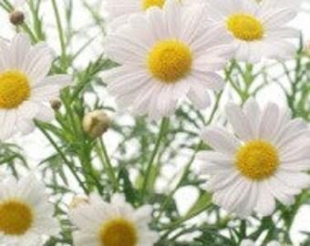 Chamomile Roman 10,000 seeds 1 gram
