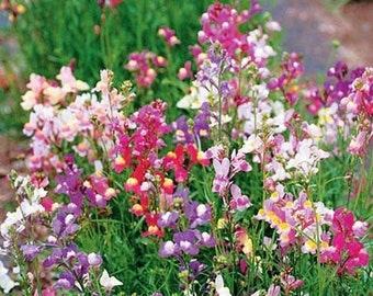 Spurred Snapdragon Wildflower 7,645 Seeds 500 mg