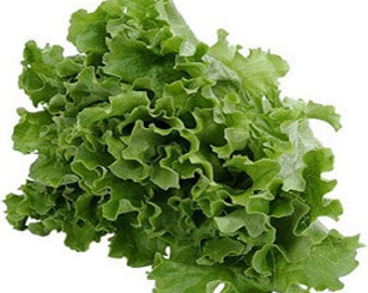Lettuce Black Seeded Simpson 300 Seeds