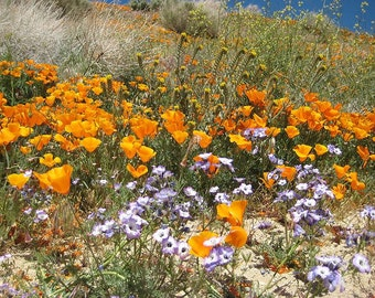 Wildflowers Western Xeriscape Mix 1000 Seeds 3.5 Grams