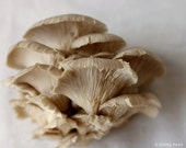 Oyster Mushroom Fine Art Print, Food Photography, Kitchen Art, Home Decor 8x10
