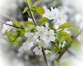 Pear Blossoms no. 3