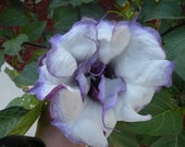 Datura Metel. Organic dark purple double layer frilly. 20 seeds.