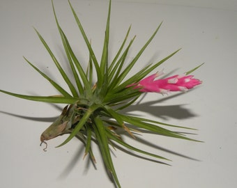 Single Aeranthos air plant, tillandsia.