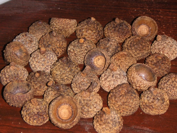 White Oak Natural Earth Acorn Caps,  50 Tops for Crafts or Felted Christmas Ornaments