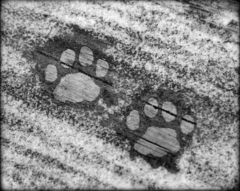 photograph Frozen Kitty Kat Paws - 8x10 Fine Art gifts for woman men man