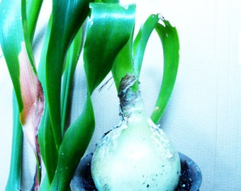 Bottle Palm or PONEYTAIL Babies . . . Bulb Babies . . . Decorative Rustic Garden Plant . . . EASY Care