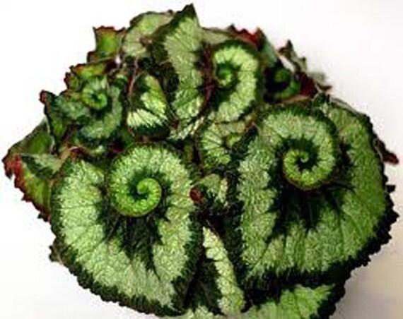 Grow Your Own . . . SM Starter Kit . . . Tropical Rex Begonia or Begonia Escargot . . .  Indoor/Outdoor