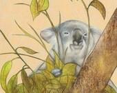 Koala Bear Fine Art Print - Koala One 11 x 14 matted print
