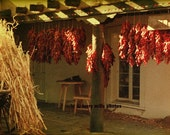 Red peppers in Santa Fe Hanging Out to Dry 8x10