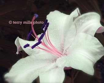 Easter White Lilly with Pink and Purple Pistil  on a Dark Background   8x10