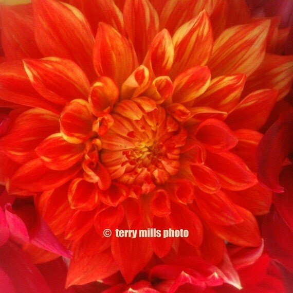 Fiery Red Dahlia With Orange Pink Coral Peach Petals 5x5