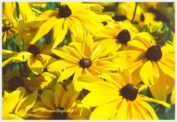 Sunny Sun Flowers In Bright Lemon Yellow With Brown Centers  5x7