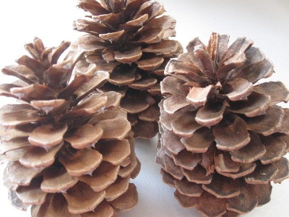 25 Large Pacific N.W. Pine Cones
