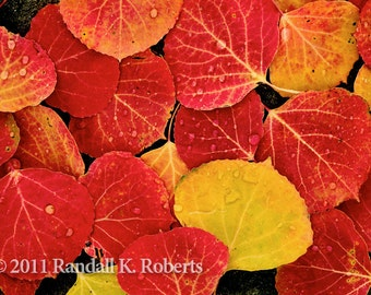 Photograph of red aspen leaves and rain, Rocky Mountains of Colorado