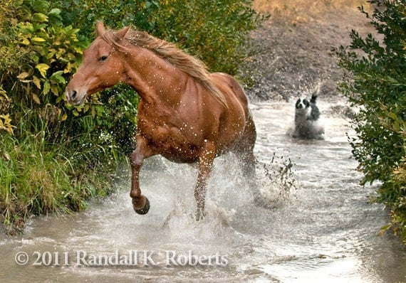 Photograph: Ranch dog herds horse across creek, Wyoming
