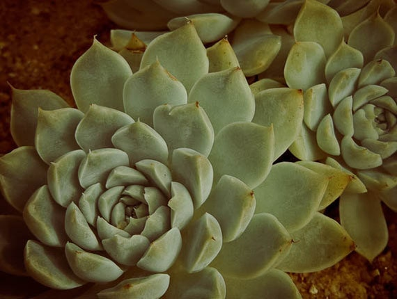 Echeveria Macro Photograph Fine Art Nature Print 8 x 10 Succulent  Rose Hen and Chick Plants Desert Southwestern Rustic Style Art Home Decor