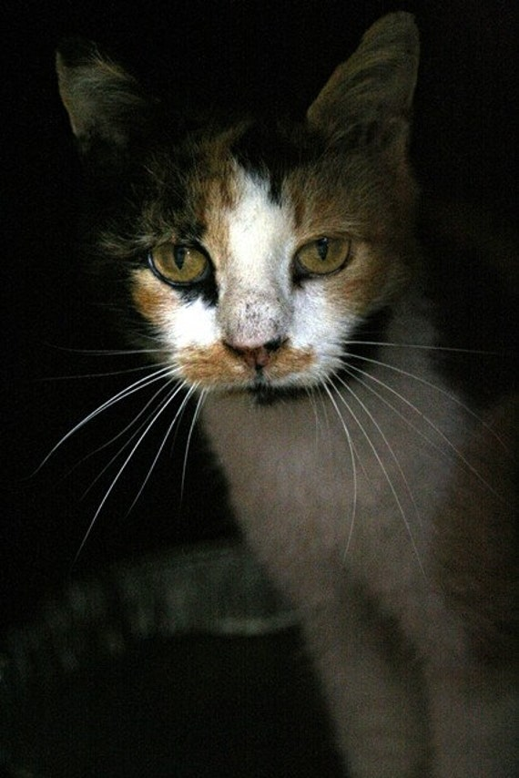 Reserved for Lisa - Smokey Joe. Act One - 11x17  Cat Portrait, Feline Photography, Calico Cat, Black, Rust, Gold, Grey Home Decor