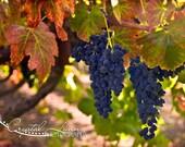 Grapes on the Vine - 5x7 Fine Art Photograph