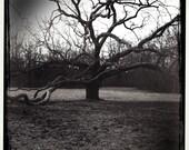 The Old Oak Tree, 8x8