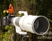 A Humorous Red Cardinal Perched on a  Camera With A 600mm Telephoto Lens