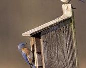 A Pair of Bluebirds on a  Birdhouse Fine Art Photo