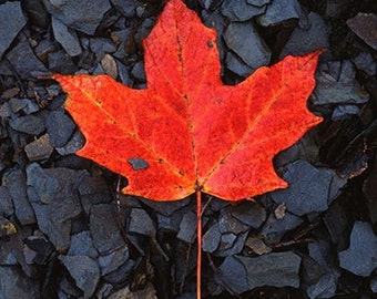 Red Maple Leaf on Black Shale  Fine Art Photograph