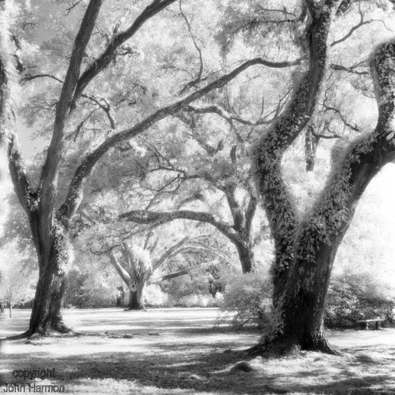 Live Oaks at Eden State Park in Florida Infrared Black And  White Fine Art  Photo