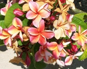 Penang Peach Plumeria Cutting