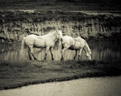 Two White Horses near the lake in the nature reserve island of Cona in Italy, Original Signed Sepia Photo, nature photography