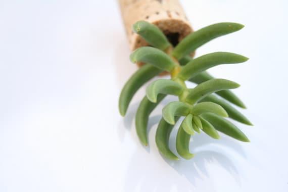 Succulent Cork Magnet, Diamond Pine
