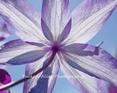 Clematis flower 8x10 photograph in purple, faded blue, B&W, red, or pink