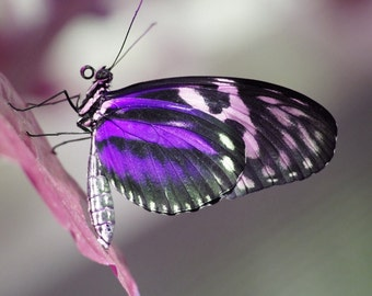 Purple Butterfly 8X10 Photo