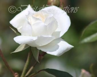 Single White Rose 11X14 Print